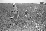 Cotton picking for Brown's Gin and Wholesale, image 107 by Martin J. Dain (1924-2000)