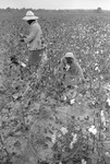 Cotton picking for Brown's Gin and Wholesale, image 108 by Martin J. Dain (1924-2000)