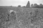 Cotton picking for Brown's Gin and Wholesale, image 109 by Martin J. Dain (1924-2000)