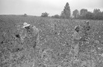 Cotton picking for Brown's Gin and Wholesale, image 110 by Martin J. Dain (1924-2000)
