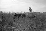 Cotton picking for Brown's Gin and Wholesale, image 111 by Martin J. Dain (1924-2000)