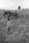 Cotton picking for Brown's Gin and Wholesale, image 112 by Martin J. Dain (1924-2000)