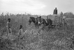 Cotton picking for Brown's Gin and Wholesale, image 114 by Martin J. Dain (1924-2000)