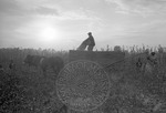Cotton picking for Brown's Gin and Wholesale, image 088 by Martin J. Dain (1924-2000)