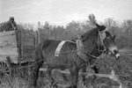 Cotton picking for Brown's Gin and Wholesale, image 116 by Martin J. Dain (1924-2000)