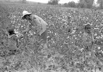 Cotton picking for Brown's Gin and Wholesale, image 117 by Martin J. Dain (1924-2000)