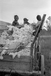 Cotton picking for Brown's Gin and Wholesale, image 119 by Martin J. Dain (1924-2000)