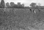 Cotton picking for Brown's Gin and Wholesale, image 120 by Martin J. Dain (1924-2000)