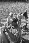 Cotton picking for Brown's Gin and Wholesale, image 122 by Martin J. Dain (1924-2000)