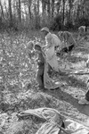 Cotton picking for Brown's Gin and Wholesale, image 123 by Martin J. Dain (1924-2000)