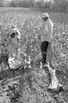 Cotton picking for Brown's Gin and Wholesale, image 124 by Martin J. Dain (1924-2000)