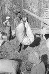 Cotton picking for Brown's Gin and Wholesale, image 093 by Martin J. Dain (1924-2000)