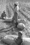 Cotton picking for Brown's Gin and Wholesale, image 094 by Martin J. Dain (1924-2000)