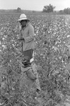 Cotton picking for Brown's Gin and Wholesale, image 095 by Martin J. Dain (1924-2000)