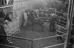 Livestock auction, image 006 by Martin J. Dain (1924-2000)