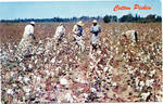 Cotton Pickin' by Publisher Unknown