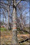 Caution Tree [University Avenue] by Miranda Cully